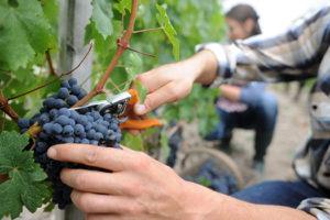 Винодельни и винные бренды России