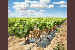Земли под виноградарство новый российский термин уже работает